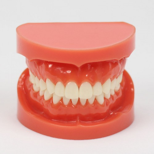 New Dental Teach Study Adult Standard Typodont Demonstration Model 1:1