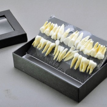 28 Pcs Dental Model Teeth Model 1:1 Full Permanent Teeth 7008