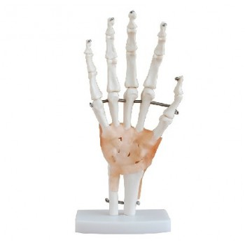 XC-114A Hand Skeleton Model with Ligaments