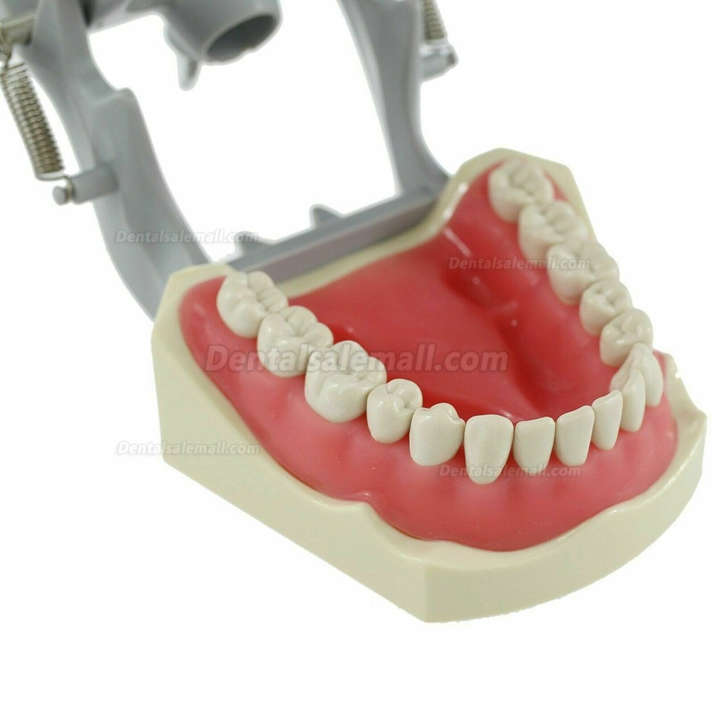 Dental Typodont Model With Pole Mount Practice 32 Pcs Teeth